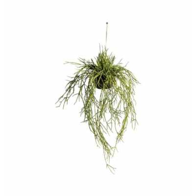 Rhipsalis with Soil Large